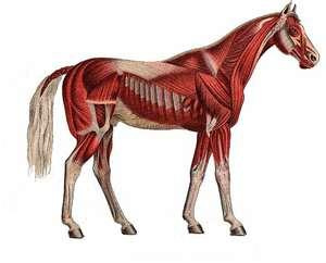 Equine Muscle Diagrams http://panicmanualpix.com/templates_c/horse-muscle-diagram
